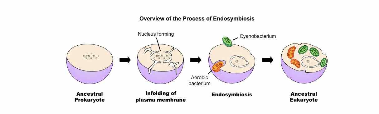 a diagrammatic representation of the endosymbiotic theory